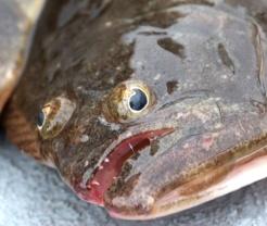flounder9